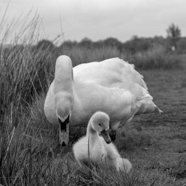Richmond Park Swans