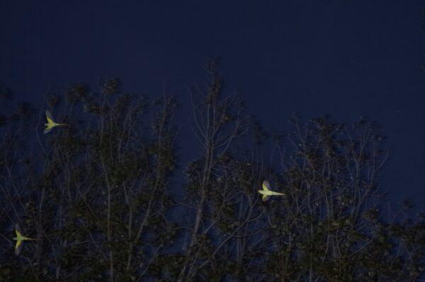 Parakeets, Falcon Park